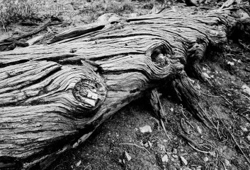 Bristle Cone Pine Tree Trunk - Bryce Canyon NP