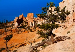 Twisted Bristle Cone Pine - Bryce Canyon NP