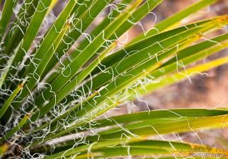 Yucca Plant - Colorado National Monument