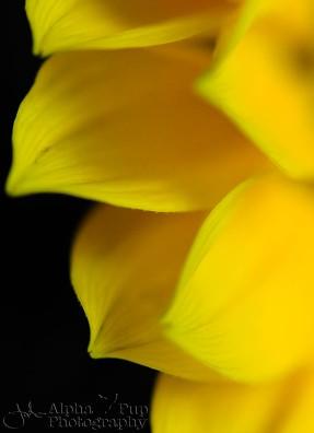 Dazed Sunflower