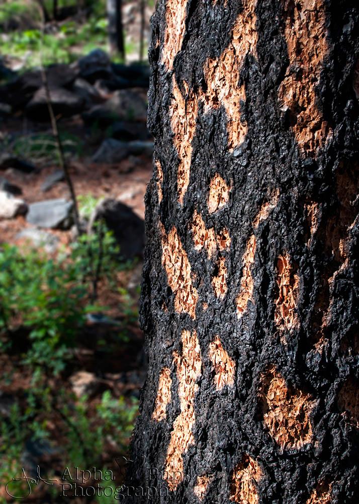 Leopard Fire - Greyrock Trail - Colorado