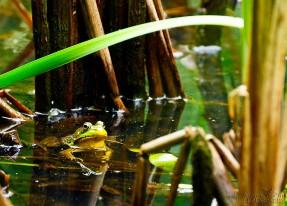 Frog at the Meng Preserve - Limerick, PA