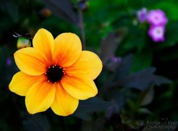 Sunburst Yellow Flower - Golden, CO
