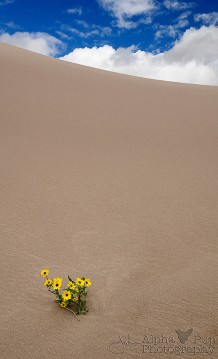 Duneflowers - Great Sand Dunes National Park - Colorado
