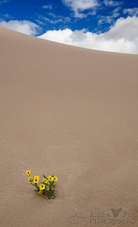 Duneflowers - Great Sand Dunes National Park - Colorado