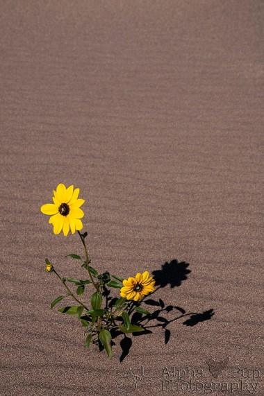 Sunflower & Shadow