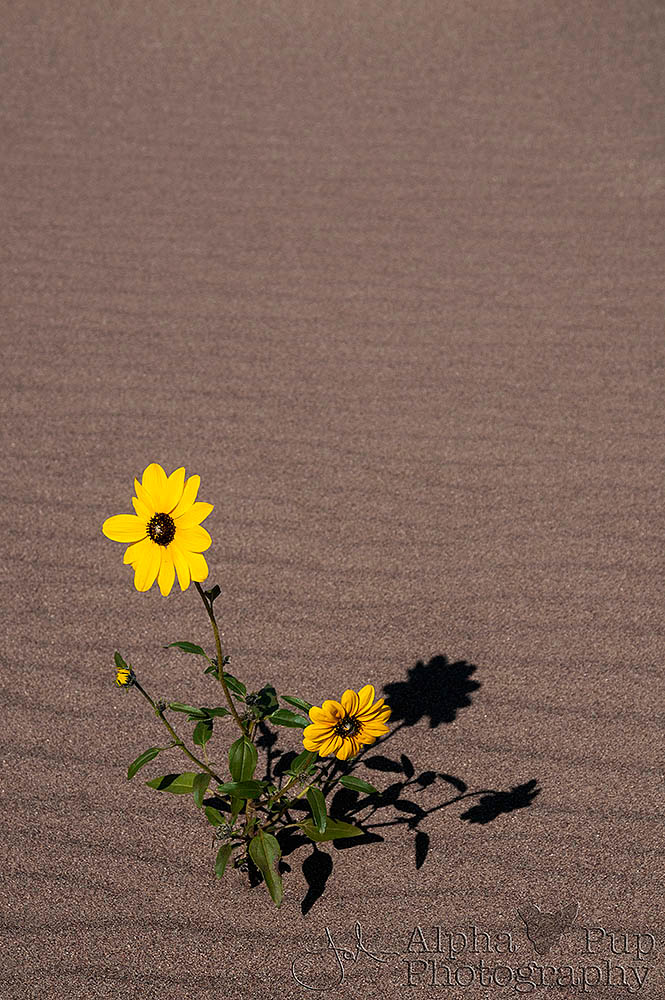 Sunflower & Shadow