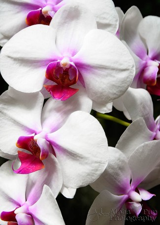 Hanging Orchids