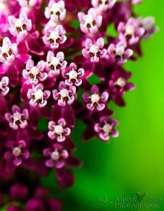 Magenta Milkweed
