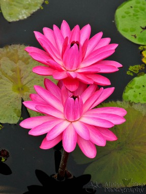 Pink Night Bloom Lily