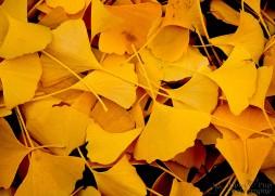 Fall Leaves - Penn State University