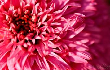 Pink Cornflower