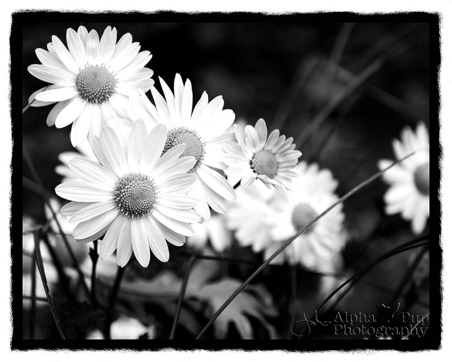 Purple & White Daisy - B&W Rebate Border