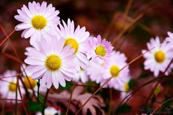 Purple & White Daisies