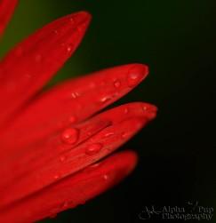 Petal Drops