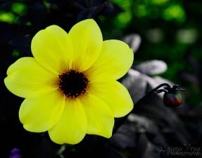 Yellow Summertime Flower - Golden, CO