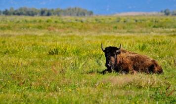 Resting Buffalo - Zapata Buffalo Ranch - Colorado