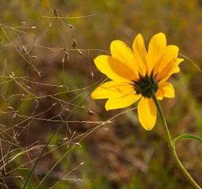 Glowing Sunflower