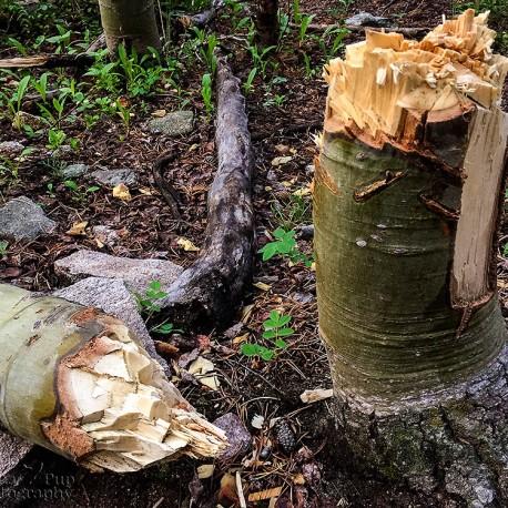 A Beaver's Handywork
