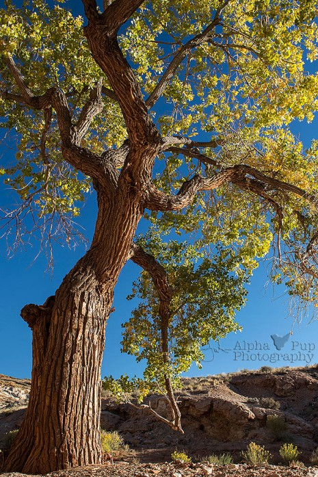 Cottonwood Reaching