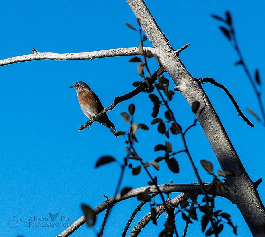 Bluebird Visitor