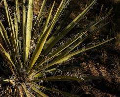 Yucca Burst