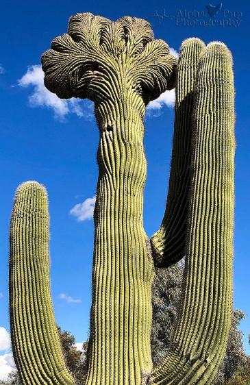 Broccoli Saguaro